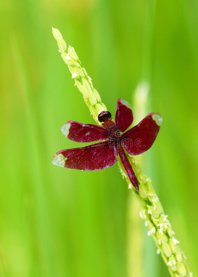 Free Red Dragonfly On Rice Royalty Free Stock Photography - 23869637