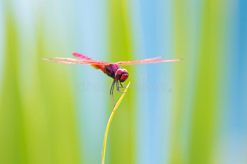 Red dragonfly perch on branch with blurred background at Khao Yai National Park royalty free stock photo