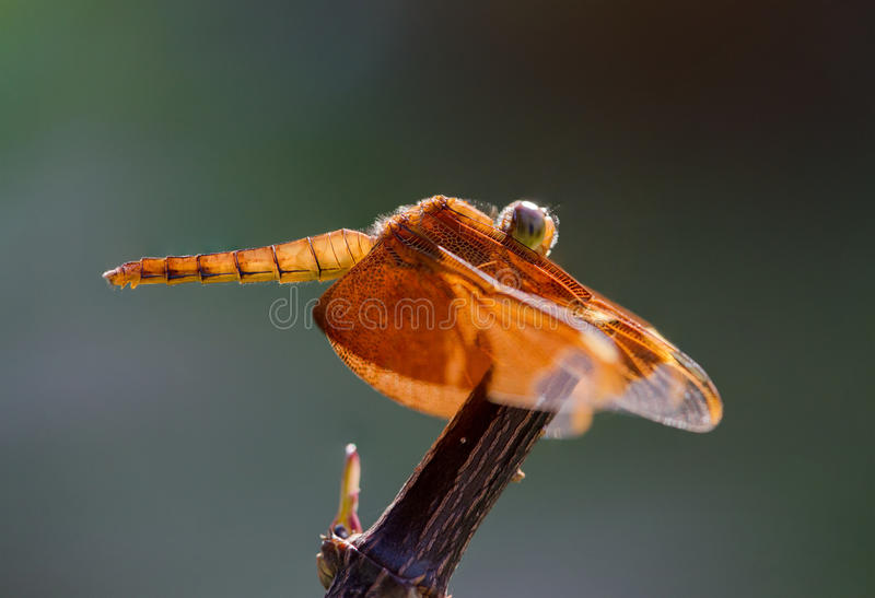 Red dragonfly resting on branch stock photos