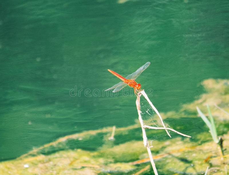A picture of beautiful red dragonfly royalty free stock photography