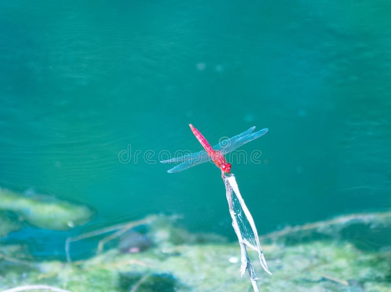 A picture of beautiful red dragonfly stock images