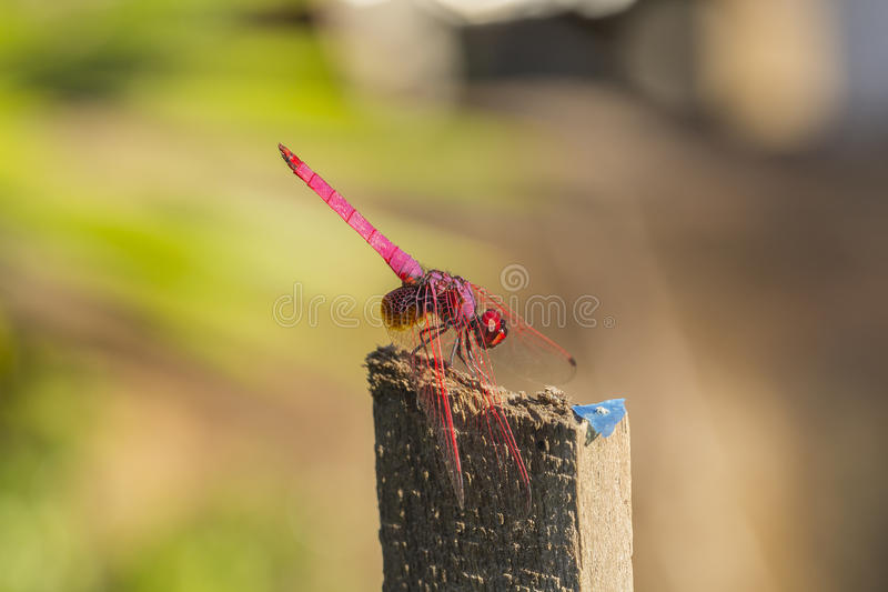 Red dragonfly. Resting on wood branch royalty free stock photography