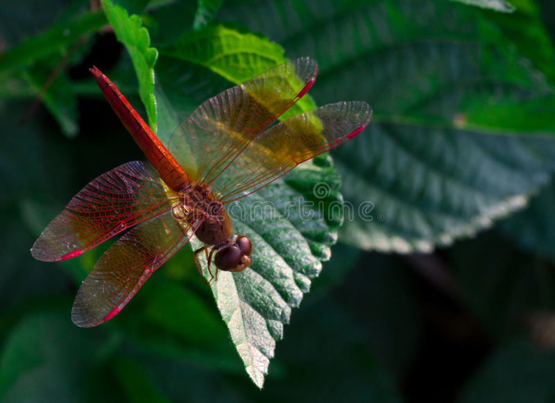 Red dragonfly show wings detail on a green leaf as natural background. On sunshine day royalty free stock photography