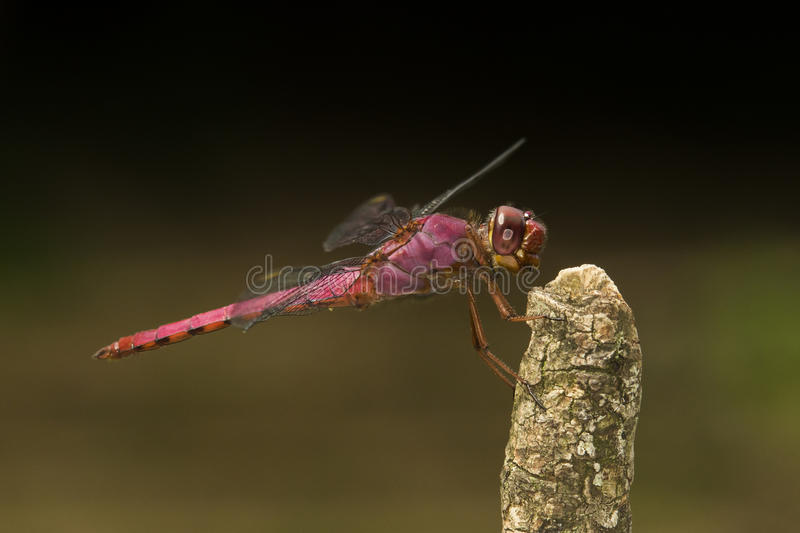 Red dragonfly on stick royalty free stock photography