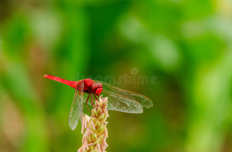 Download Red dragonfly stock photo. Image of background, colorful - 33551834