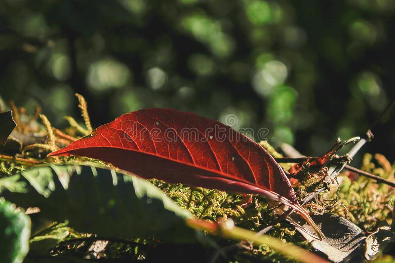 Red dried leaves are on dried moss. royalty free stock image