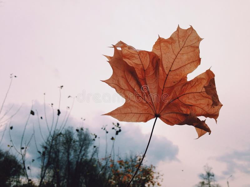 Red dry autumn leaf white background royalty free stock image