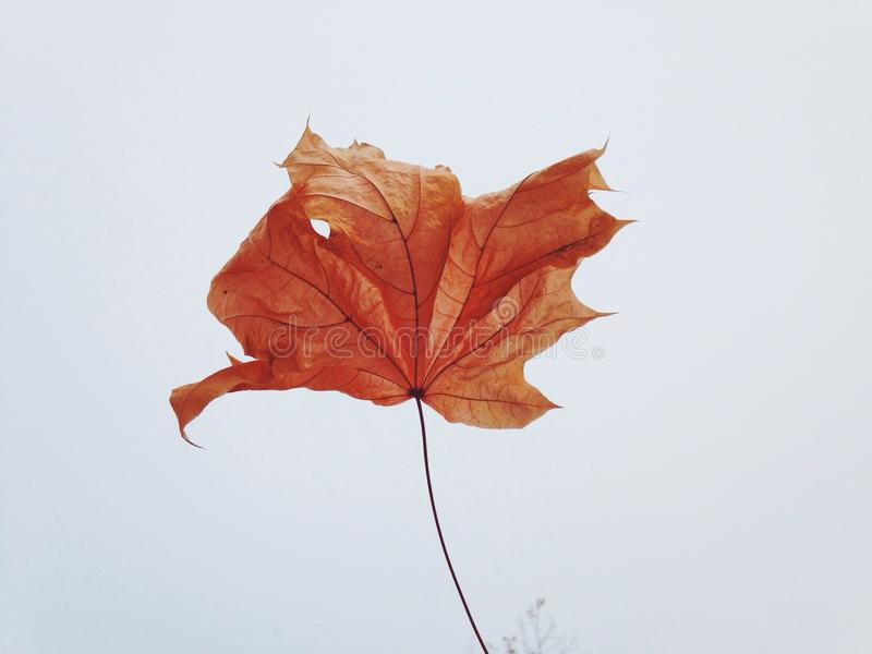 Red dry autumn leaf white background stock image