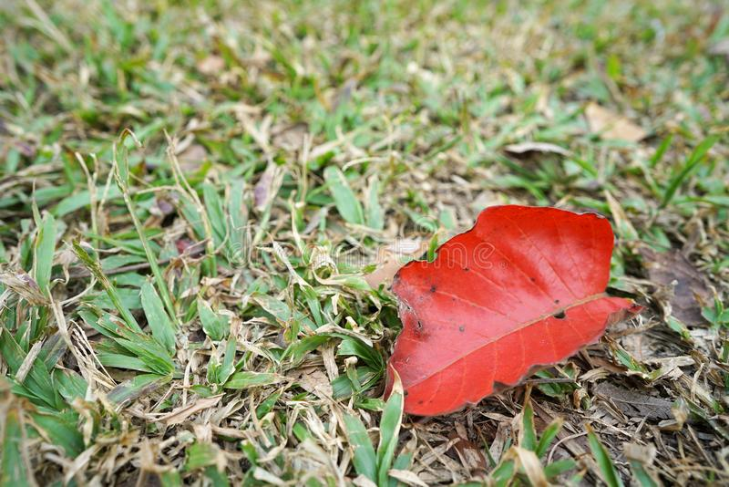 Red dry leaf on the floor royalty free stock photo