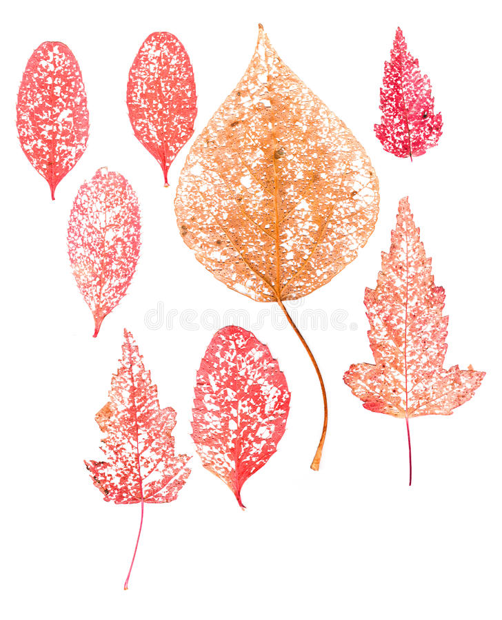 Red dry leaf skeleton macro close up royalty free stock photo