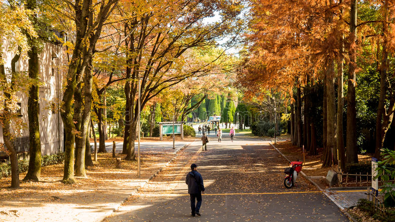 Red dry pine leave and ginkgo tree and black cloth asian man wlak on street in osaka park around osaka castle kyoto japan royalty free stock images