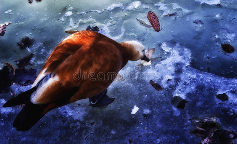 Red duck on ice stock image