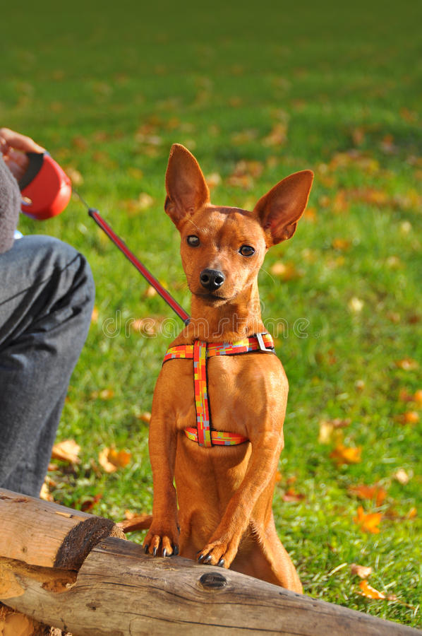 Red Dwarf Pinscher royalty free stock image