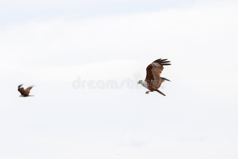 Red eagle on the sea in nature at thailand stock photos