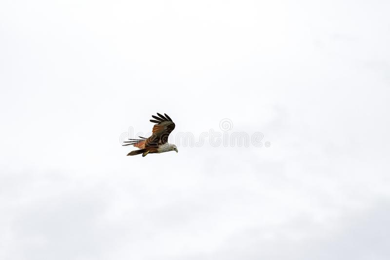 Red eagle on the Sky in nature at thailand royalty free stock photography