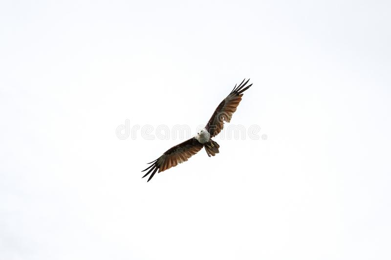 Red eagle on the Sky in nature at thailand stock photography