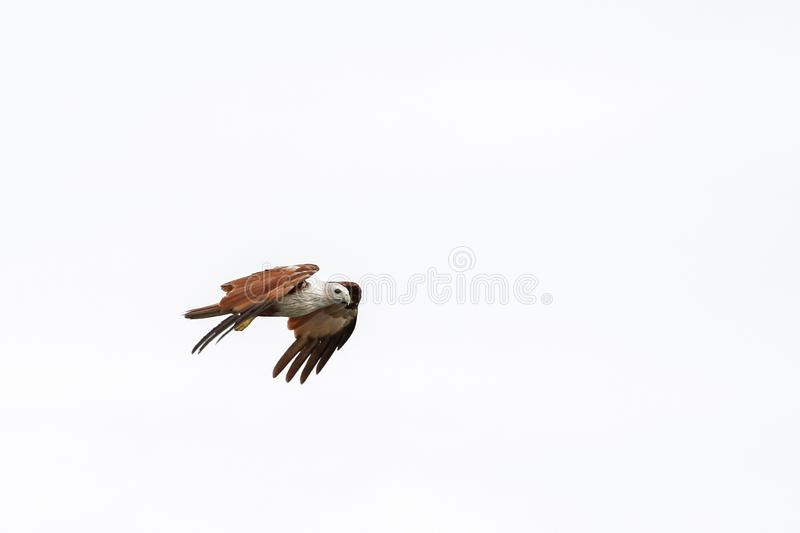 Red eagle on the Sky in nature at thailand stock photos