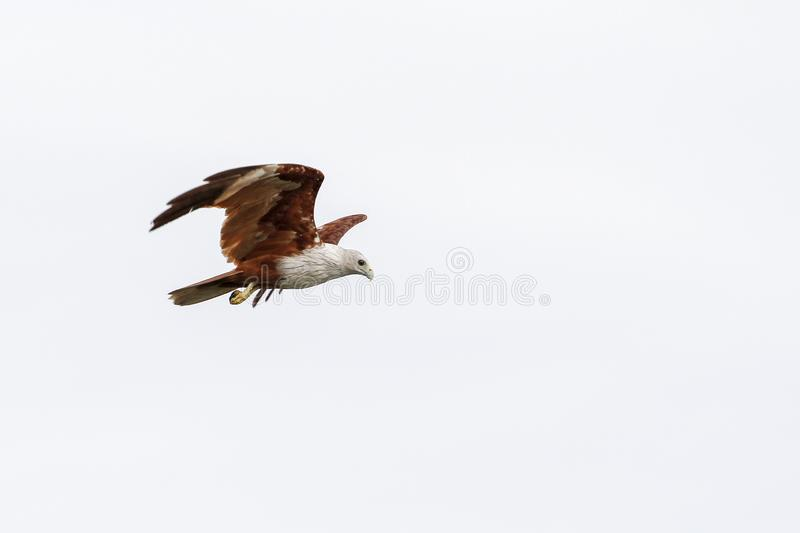 Red eagle on the Sky in nature at thailand royalty free stock photo