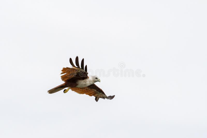Red eagle on the Sky in nature at thailand stock photo