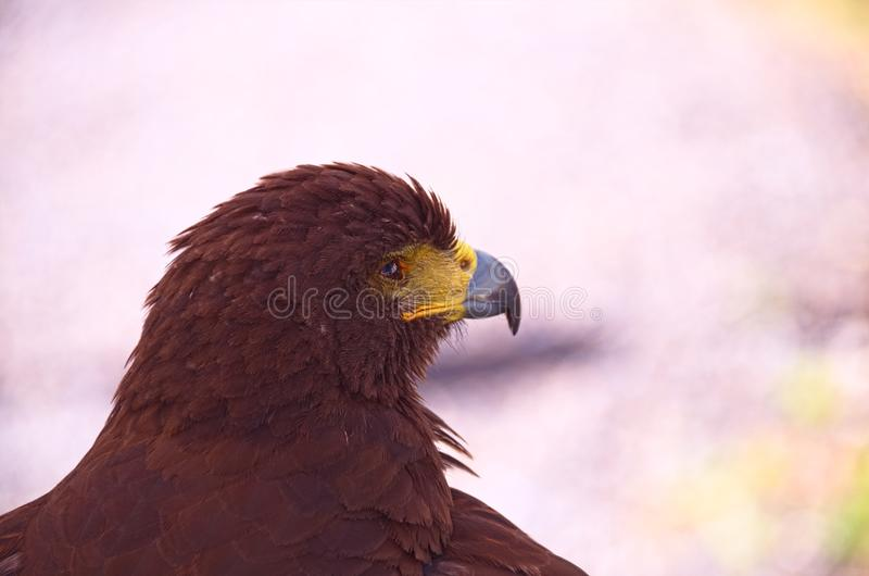 Red Eagle.  The various species and subspecies of eagles can be found almost anywhere in the world except Antarctica. They are members of the birds of prey stock images