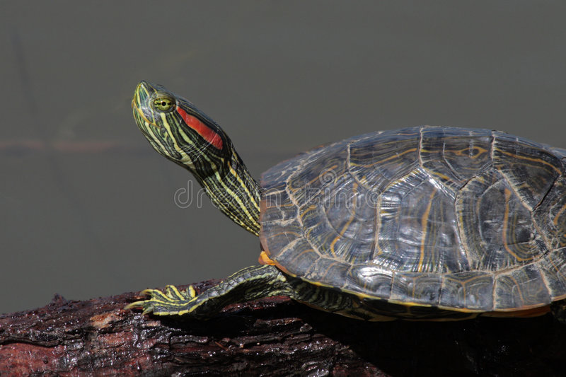 Red-Ear Slider Terrapin royalty free stock photo