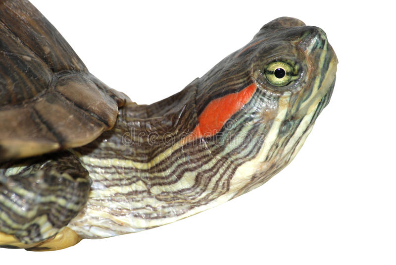 Red ear turtle head
