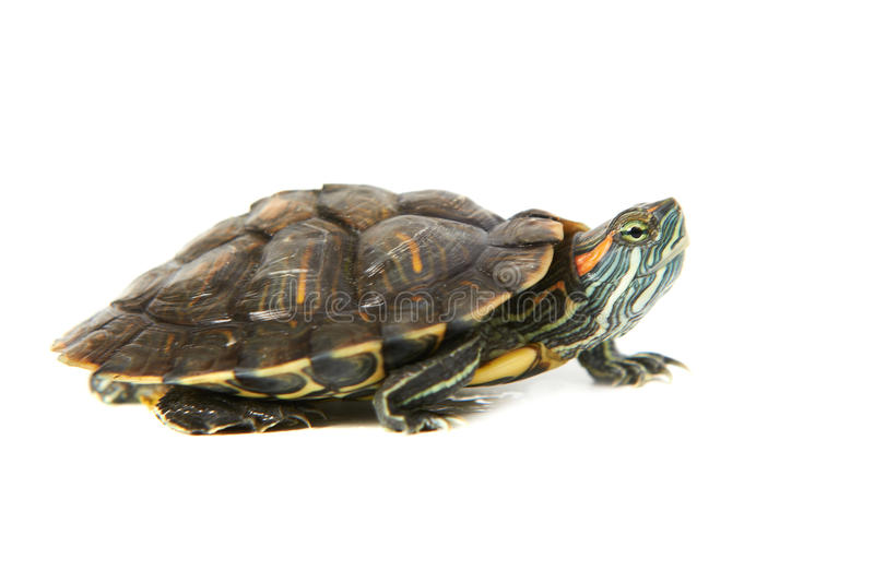 Red ear turtle royalty free stock photos