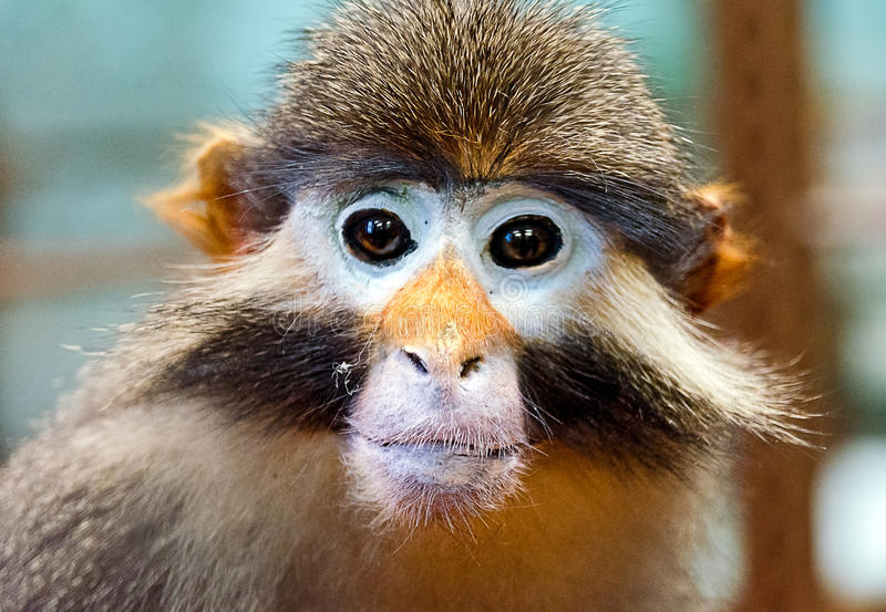 Red-eared monkey. Head of a red-eared monkey royalty free stock images