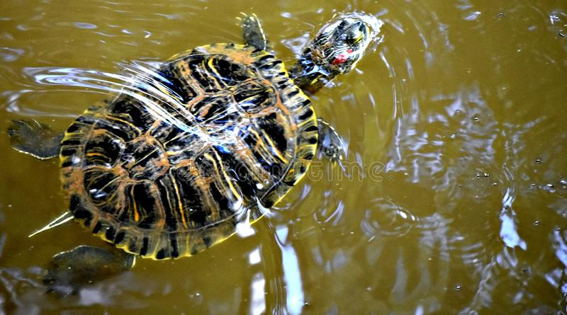 Red Eared Slider, även känt som Red Eared Terrapin royaltyfria foton