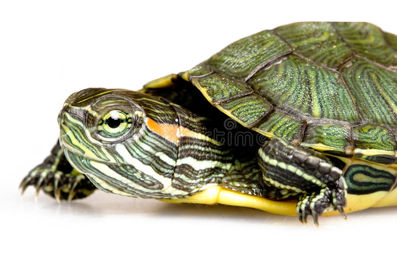 Red-eared Slider. (Trachemys scripta elegans royalty free stock photography