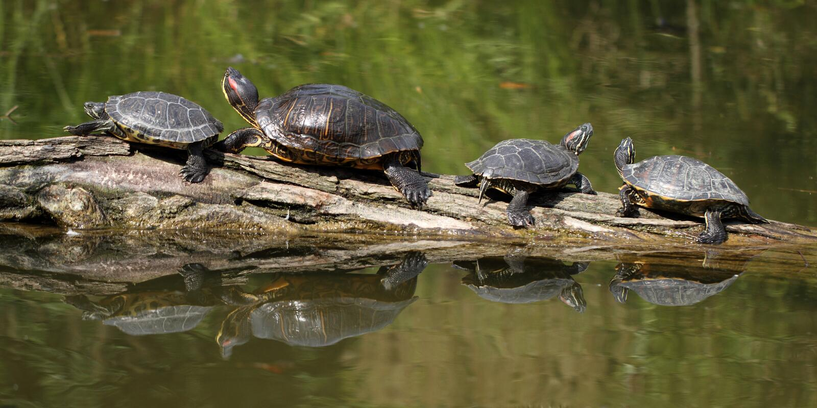 Red Eared Slider. Details of a Red Eared Slider Turtle stock photography