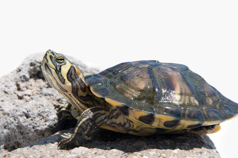A Red-eared slider. Close-up of a small Red-eared slider Trachemys scripta elegans stock photography