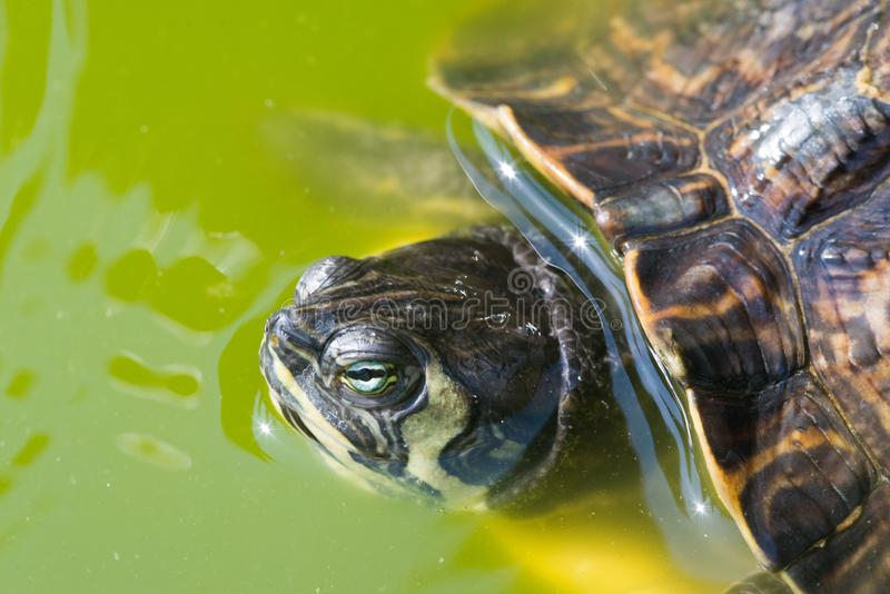 The red-eared slider, close view, swimming in his habitat. The red-eared slider Trachemys scripta elegans, also known as the red-eared terrapin, is a semiaquatic stock photos