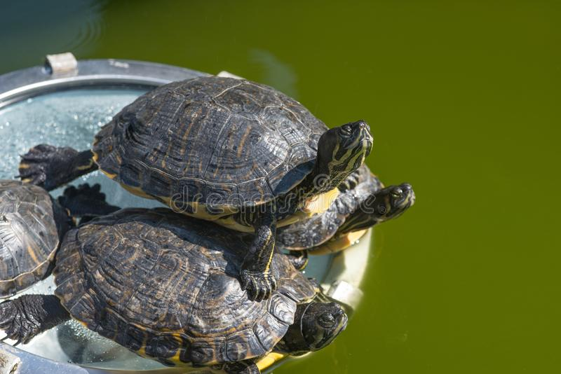 The red-eared slider enjoying the sun. The red-eared slider Trachemys scripta elegans, also known as the red-eared terrapin, is a semiaquatic turtle belonging to stock images