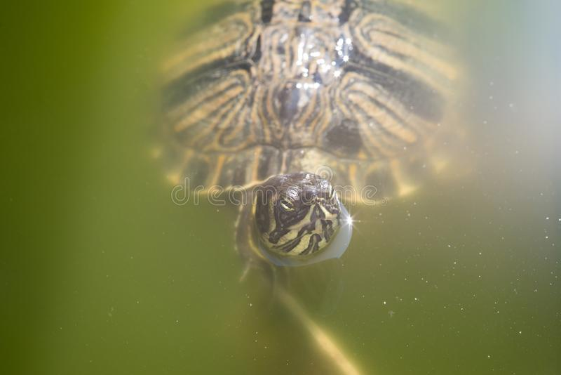 The red-eared slider enjoying the sun. The red-eared slider Trachemys scripta elegans, also known as the red-eared terrapin, is a semiaquatic turtle belonging to stock image