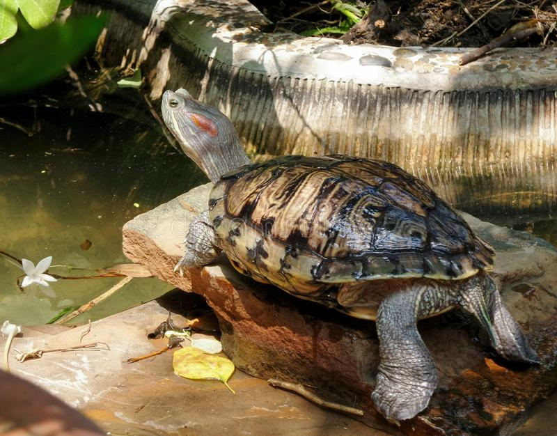 Red-eared slider. Red ear slider is the most common type of water turtle kept as pets. As with other turtles, tortoises, and box turtles, individuals that royalty free stock images
