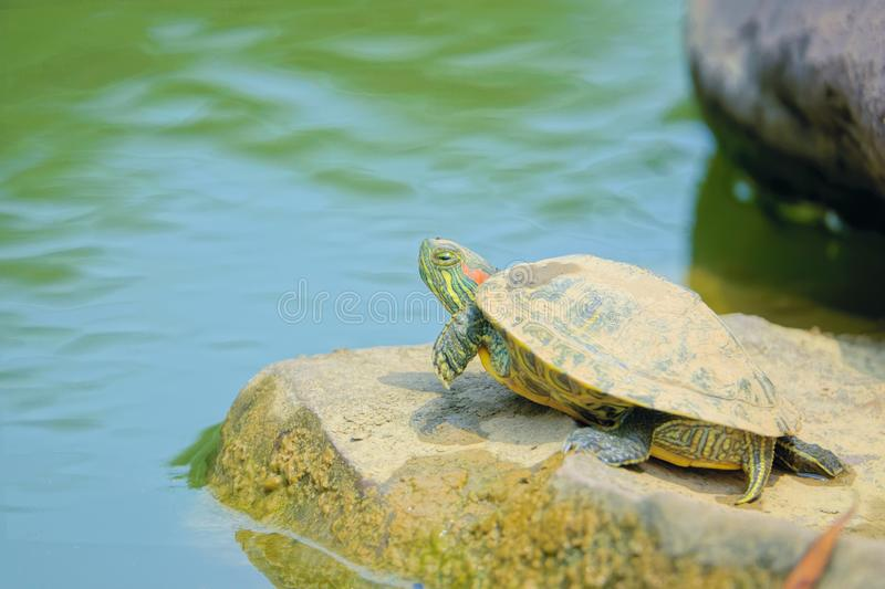 Red-Eared Slider. A Red-Eared Slider is resting on stone in water. Scientific name: Trachemys scripta elegans royalty free stock photo