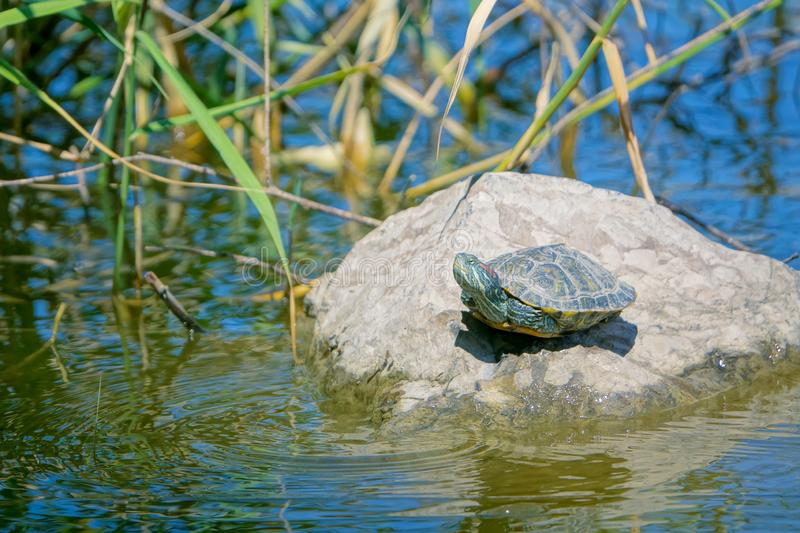 Red-Eared Slider. A Red-Eared Slider on stone in river. Scientific name: Trachemys scripta elegans stock image