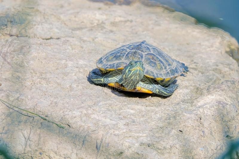 Red-Eared Slider. A Red-Eared Slider on stone. Scientific name: Trachemys scripta elegans stock image