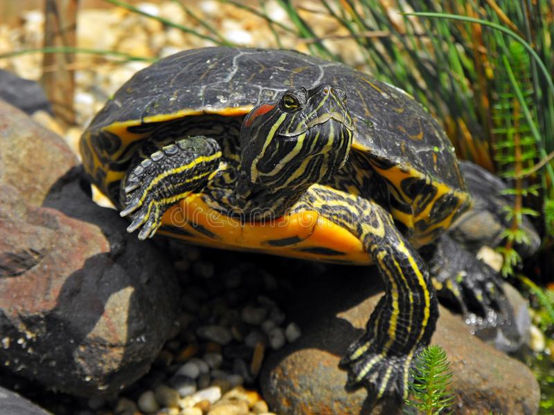 Red-eared slider sunbathing. royalty free stock photos