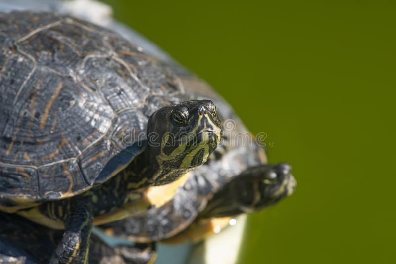 The red-eared slider, close view, swimming in his habitat. The red-eared slider Trachemys scripta elegans, also known as the red-eared terrapin, is a semiaquatic stock images