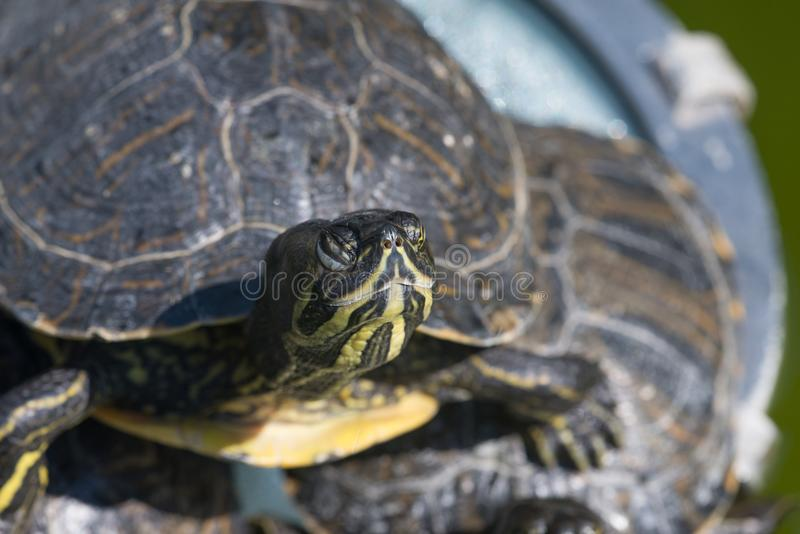The red-eared slider, close view, swimming in his habitat. The red-eared slider Trachemys scripta elegans, also known as the red-eared terrapin, is a semiaquatic royalty free stock images