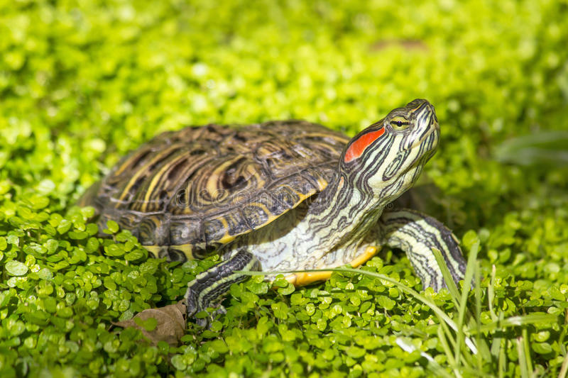 Red eared slider - Trachemys scripta elegans turtle. Red eared slider - Trachemys scripta elegans, Turtle head portrait in nature enviroment royalty free stock photos