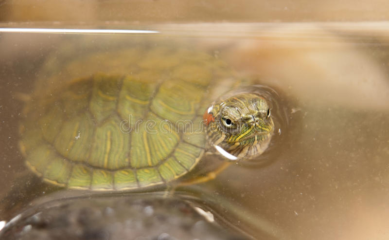 Red Eared Slider Turtle. Also known as florida galapagos in captivity stock photography