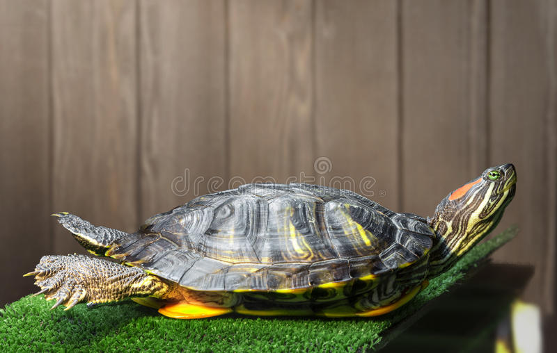 Red-eared slider turtle. Red-eared slider turtle on the bridge with artificial grass basks under the lamp royalty free stock photo