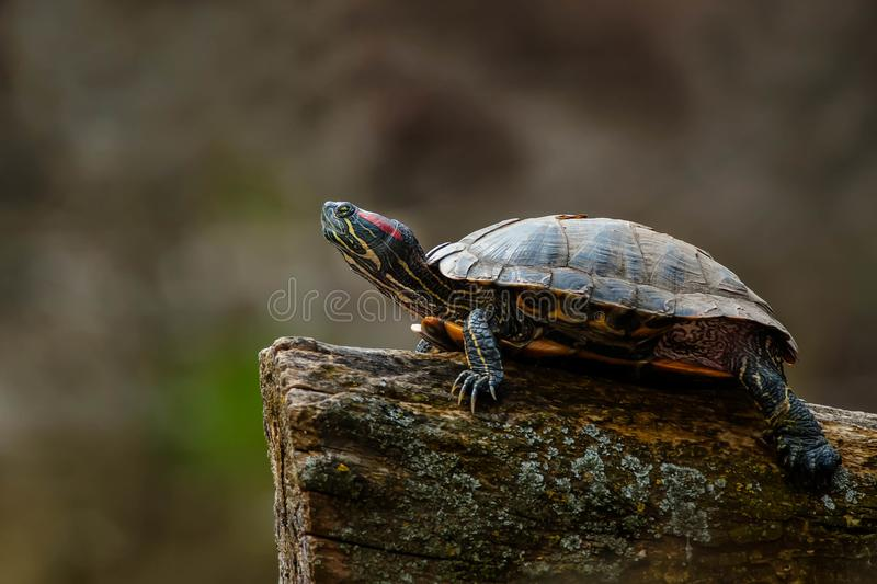 Red-eared Slider Turtle - Trachemys scripta elegans. Red-eared Slider turtle resting on a log basking in the sun. Riverdale Park, Toronto, Ontario, Canada royalty free stock photography