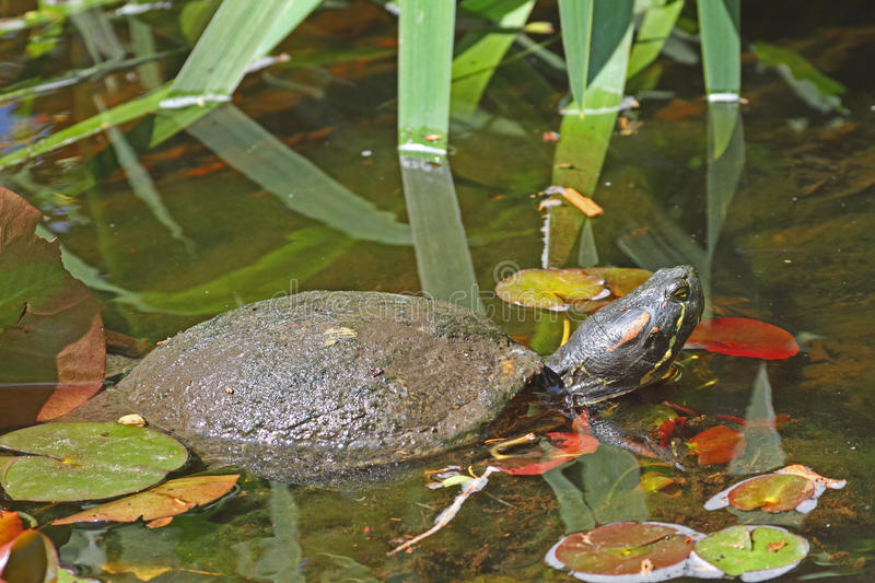 Red Eared Slider Turtle Stock Image. Image Of Water