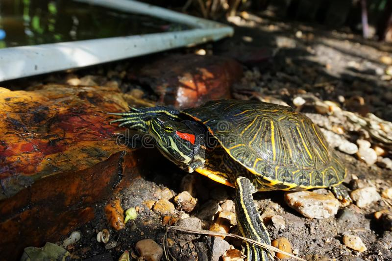 A red-eared slider turtle on stones, near an artificial reservoir. Wild life. Reptiles stock photos