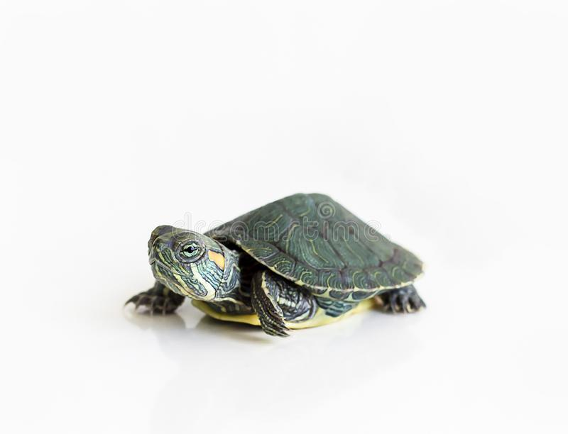 Red eared Slider turtle Trachemys scripta elegans on white bac. Kground. Selective focus. Close up stock photography