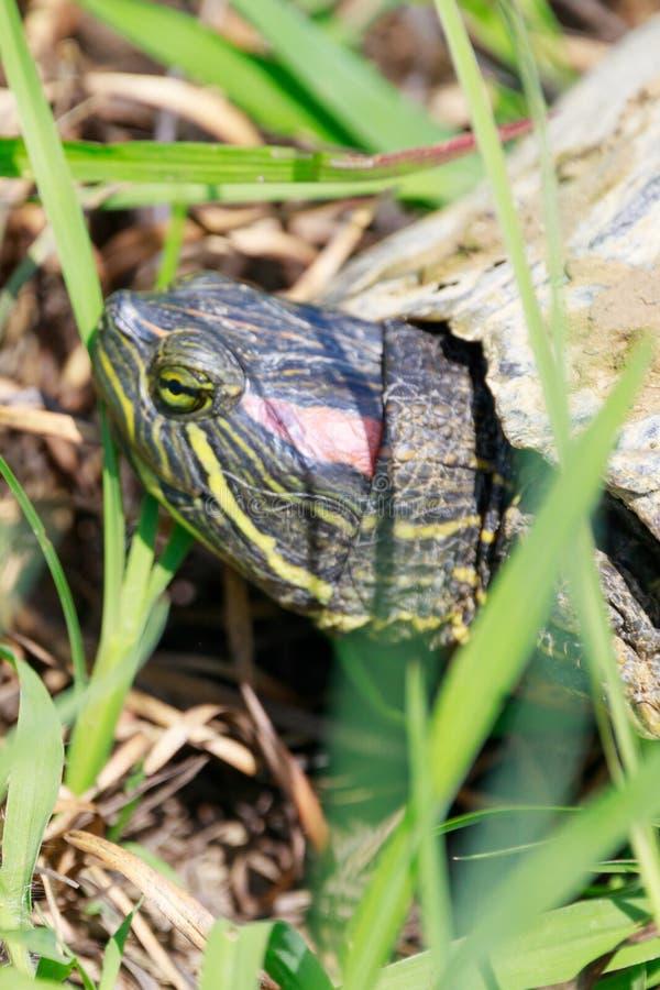 Red-eared slider turtle walks between water holes within the Bald Knob National Wildlife Refuge in Bal. Red-eared slider turtle, Trachemys scripta elegans, walks stock photo